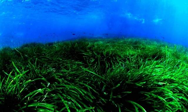 Seagrass in Con Dao National Park (Photo: Collection)